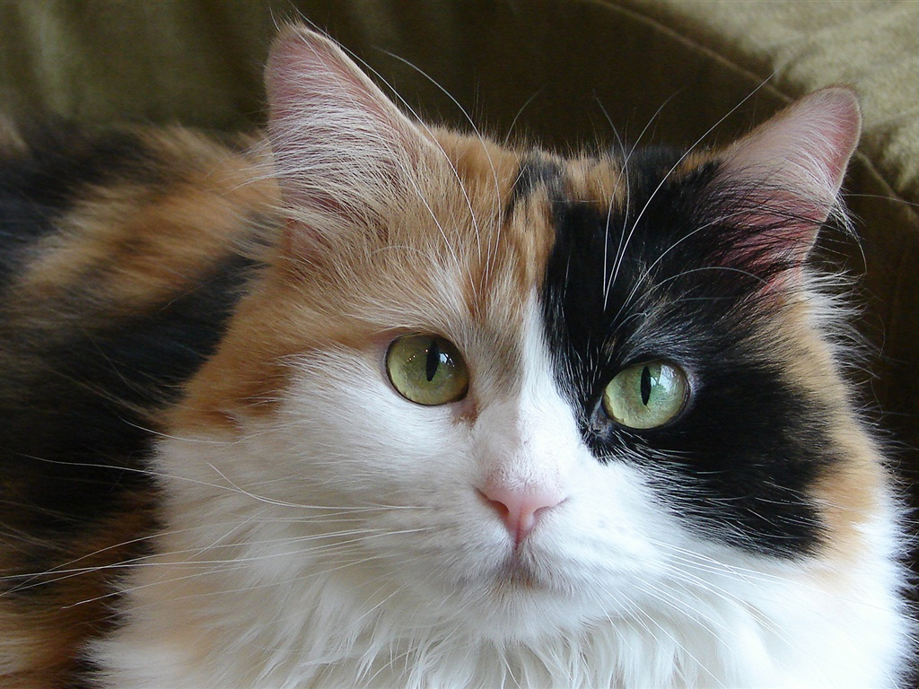 Рэгдолл кошка фото видео о породе характере здоровье