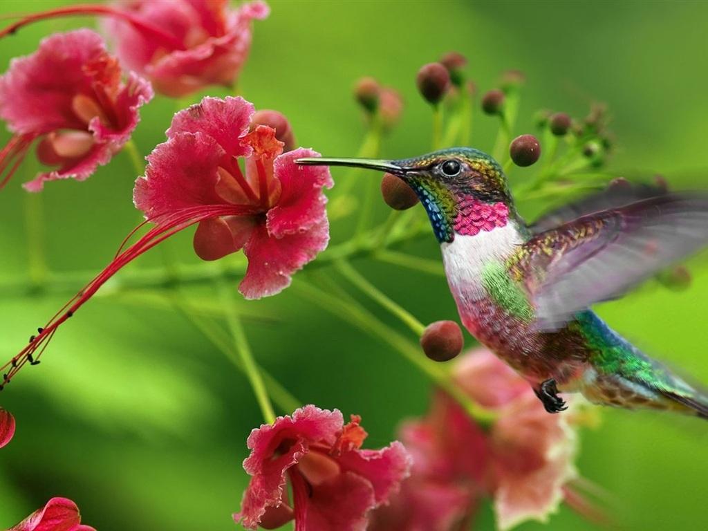 Kolibri blumen fliegen hintergrundbilder 1024x768 for Blumen fliegen