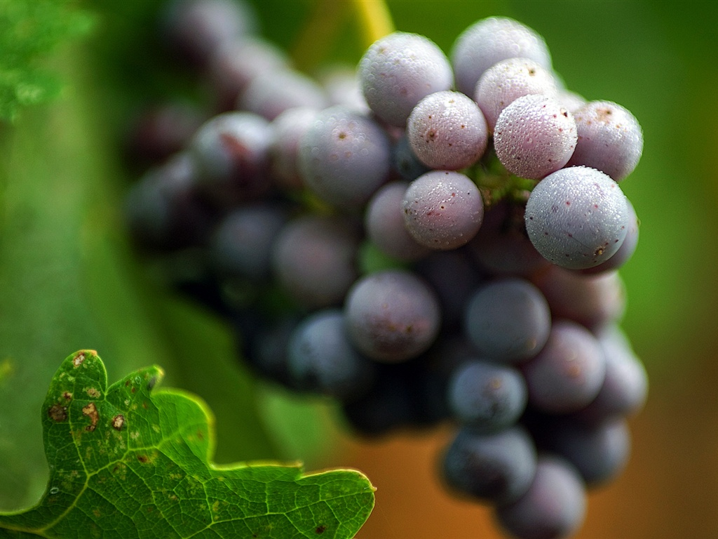 Download Wallpaper 1024x768 Purple grapes HD Background