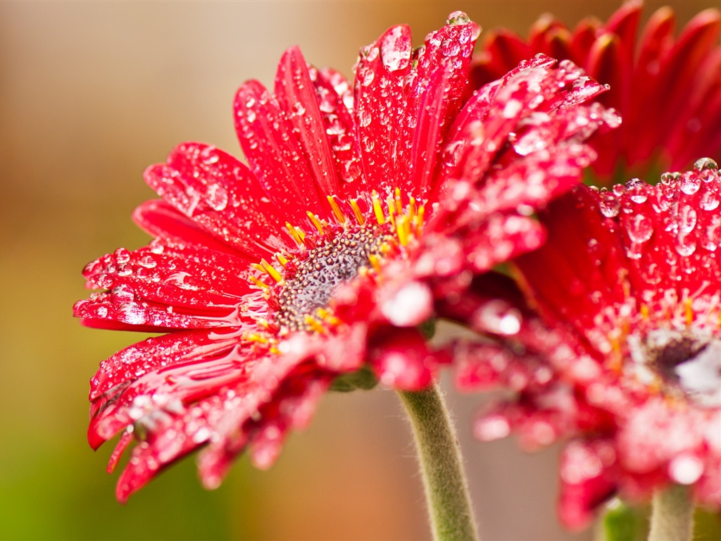 Red gerbera flowers after rain wallpaper - 1024x768