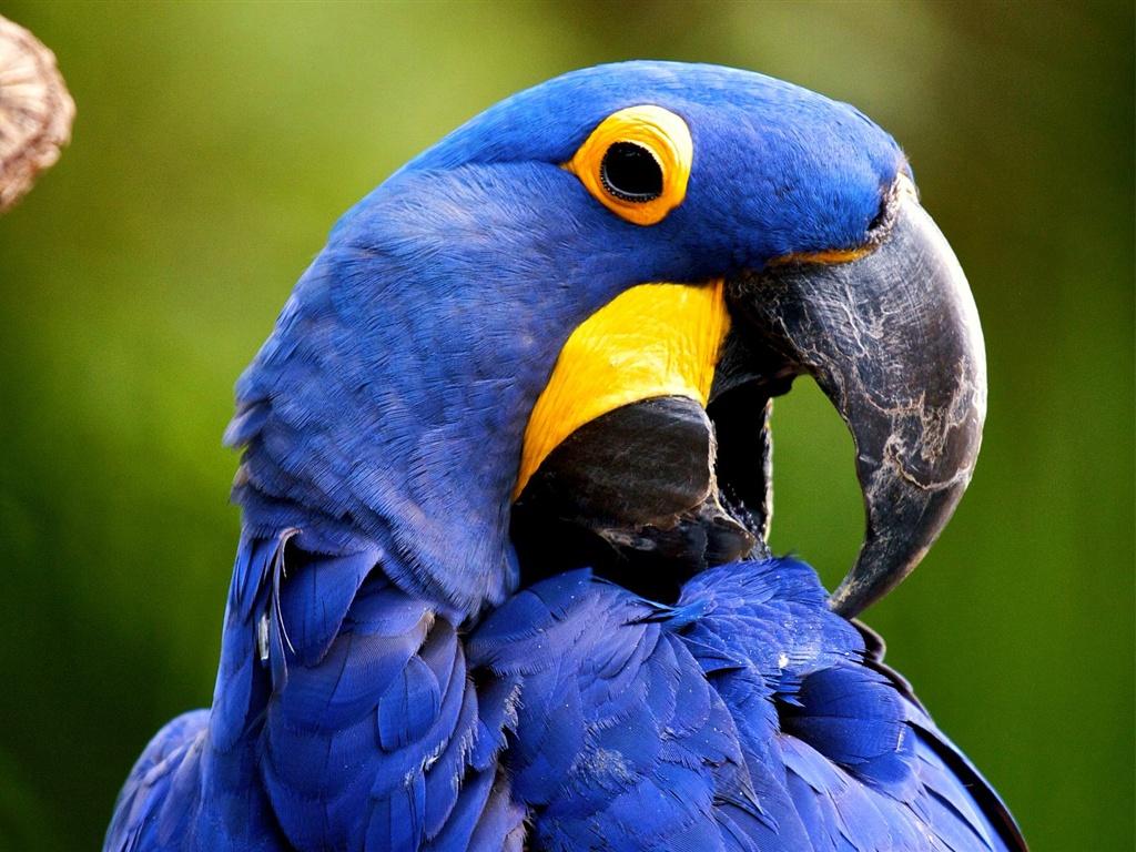 青いコンゴウインコ鳥 壁紙 - 1024x768    1024x768 壁紙ダウンロード