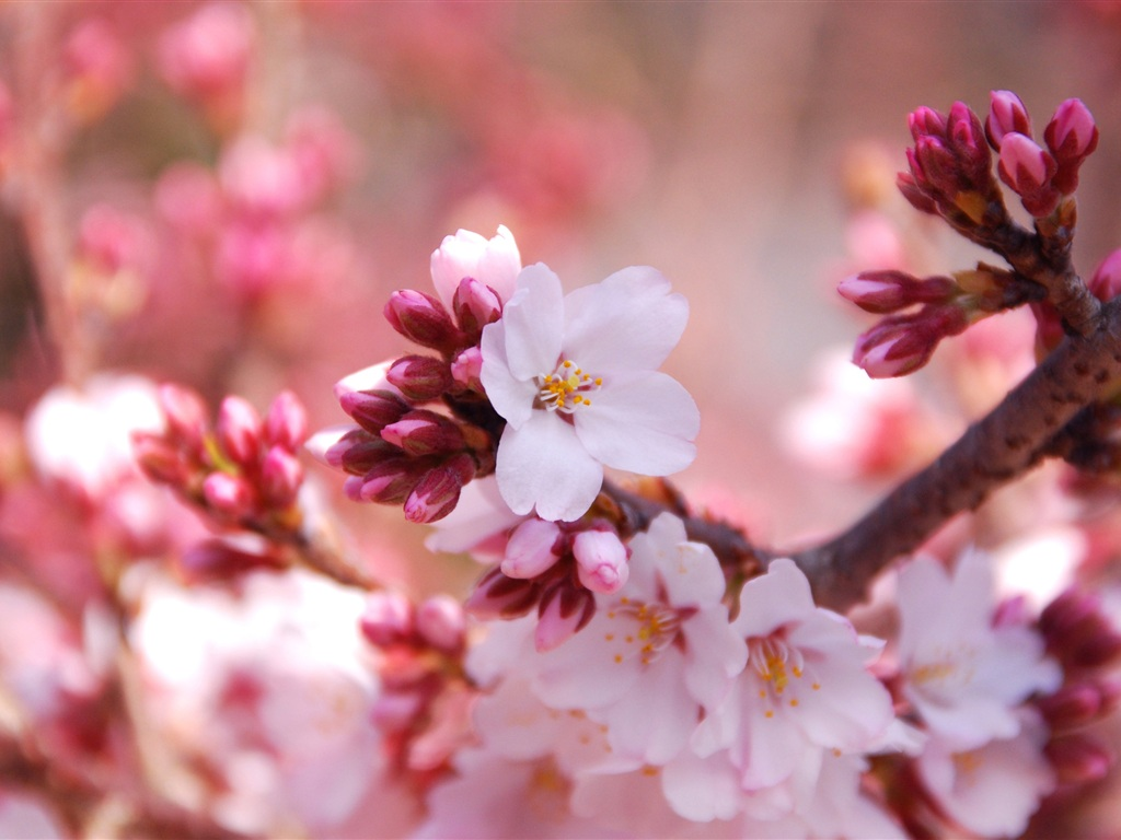 Flowers close-up of the cherry blossom season 750x1334