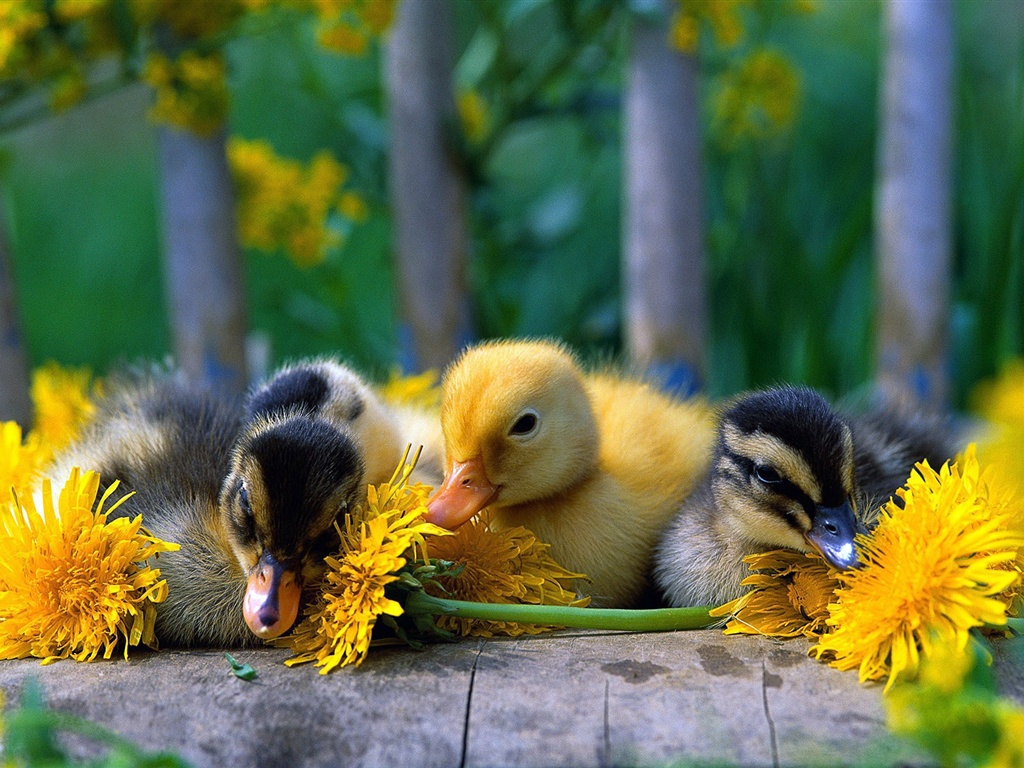 Cute little duck - photo#34