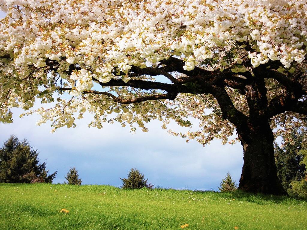 La nature au printemps, les cerisiers, fleurs de cerisiers blanches en pleine floraison Fonds d'écran - 1024x768