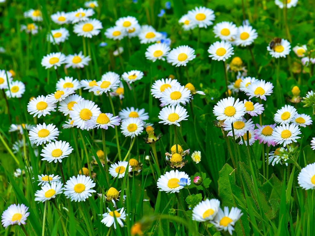 Margaritas De Colores En La Hierba 30995: Fondos De Pantalla Flores Blancas De La Margarita, Hierba