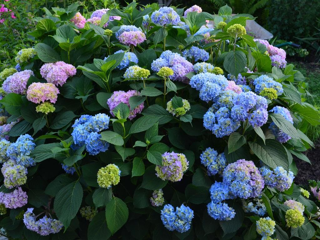 Fleurs bleu violet 233 t 233 hortensia fonds d 233 cran 1024x768 fonds d