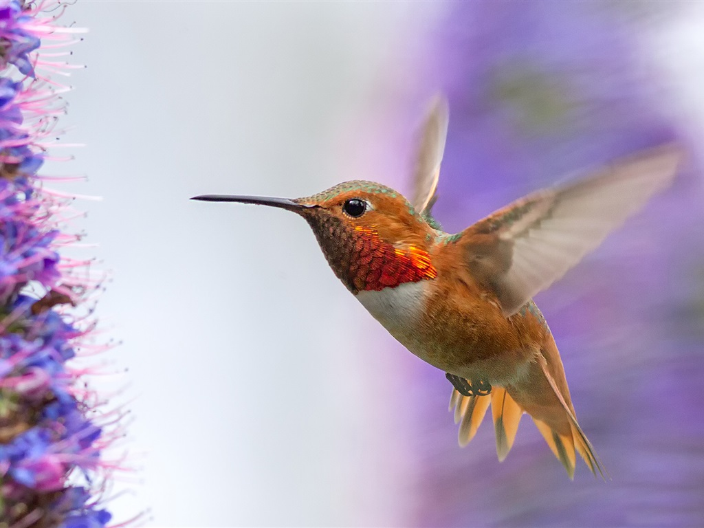 Download hintergrundbilder 1024x768 hummingbird fliegen for Blumen fliegen