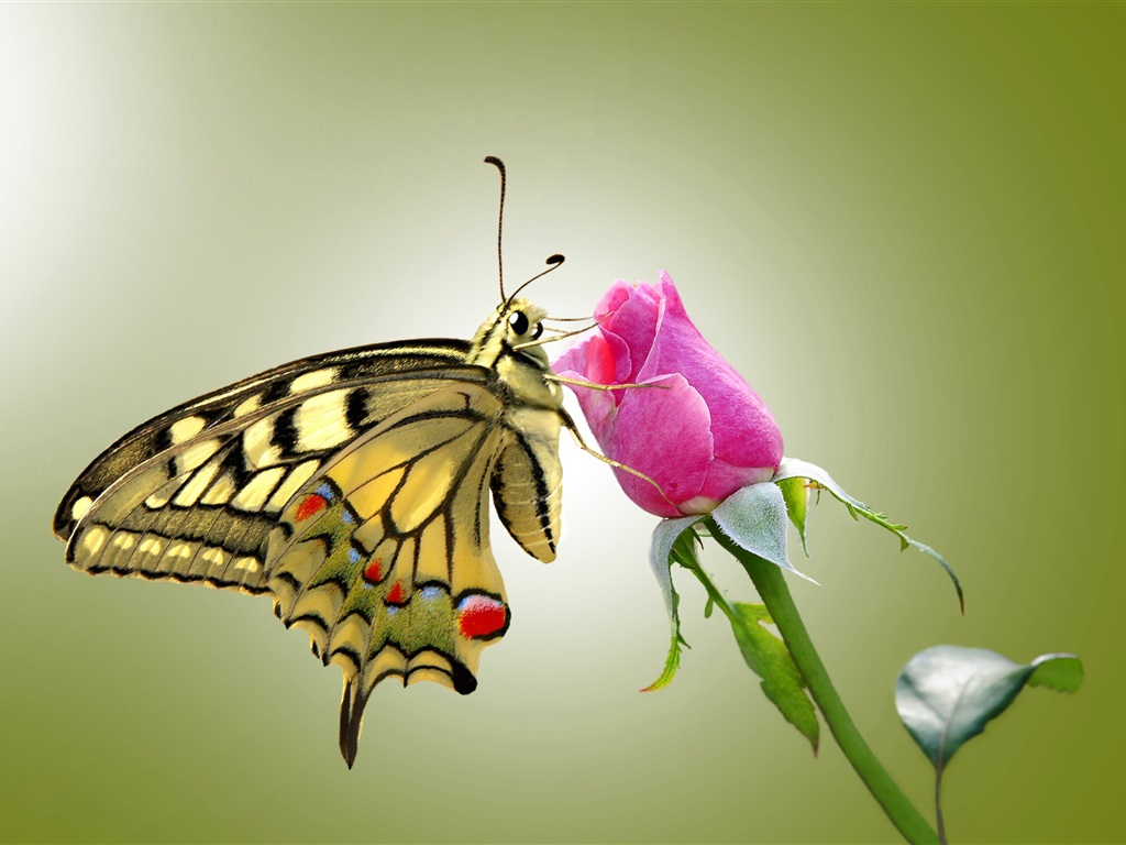 Butterfly and pink rose wallpaper 1024x768