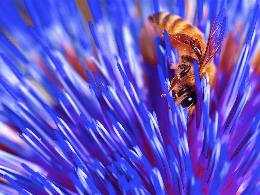 Hintergrundbilder Blaue Blume: Blaue Blume Makrofotografie, Biene, Insekt 1920x1200 HD