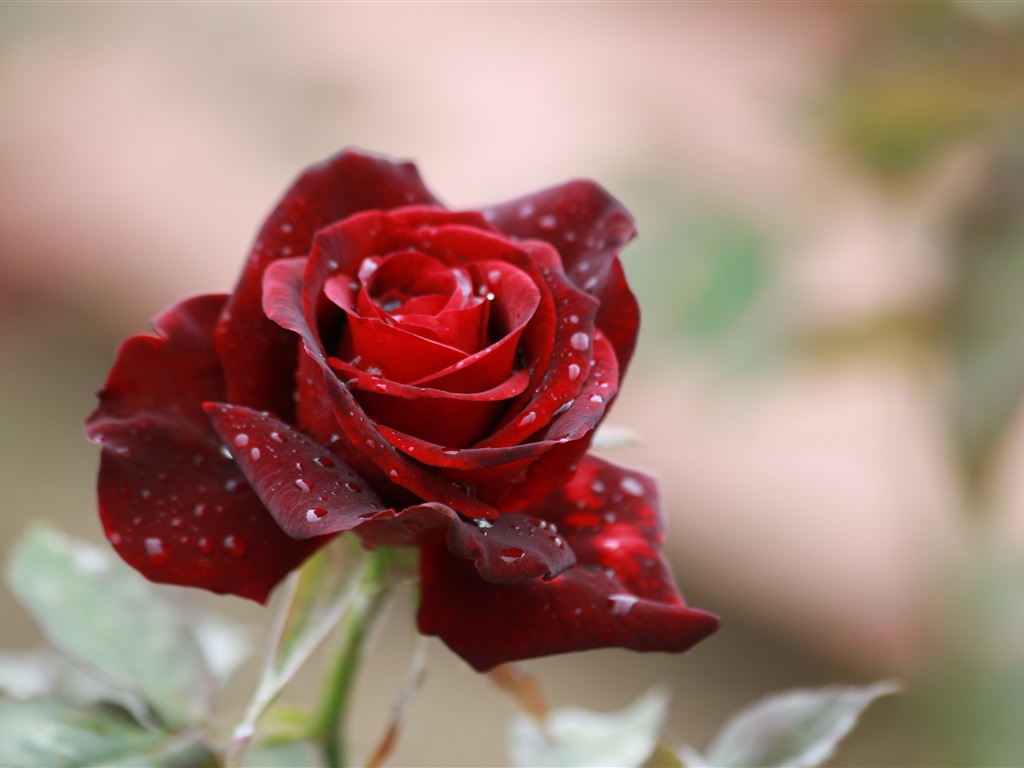 Red rose petals water drops wallpaper 1024x768 - Red rose petals wallpaper ...