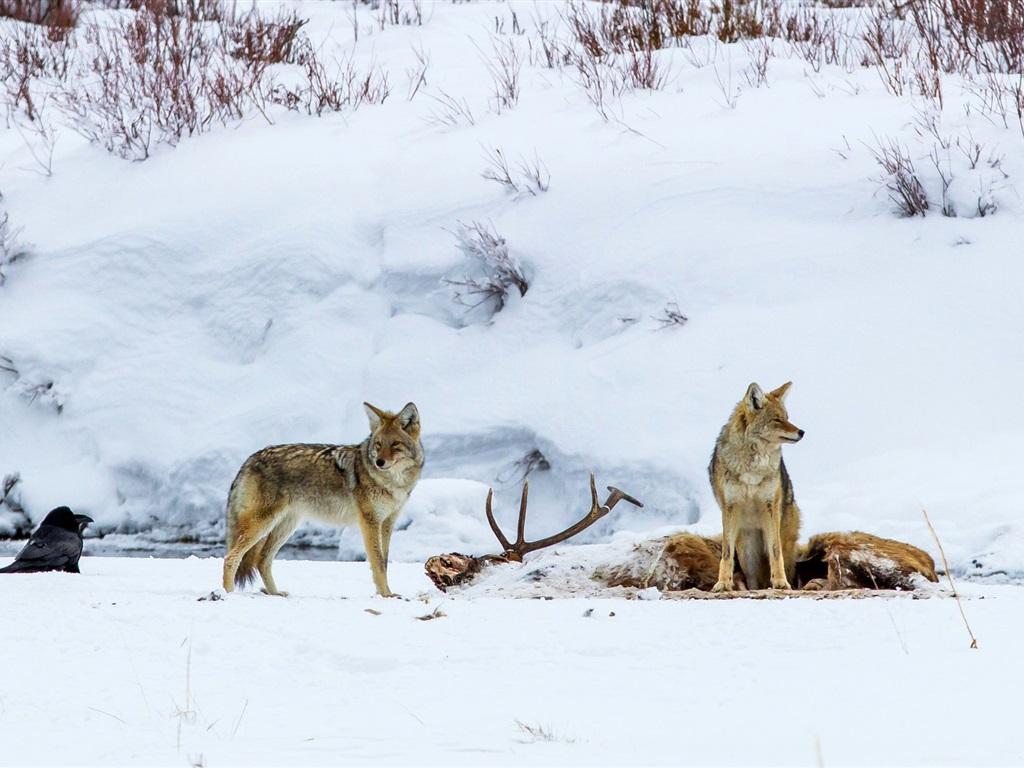 картинка как охотится волк зимой мотор катера