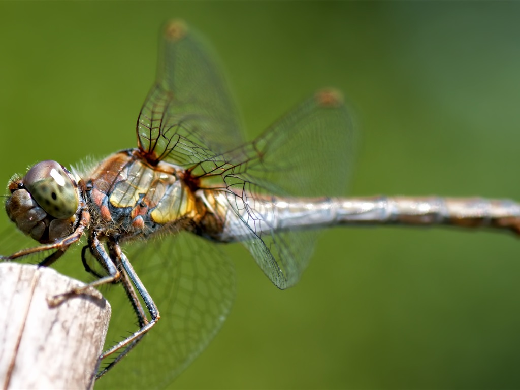 Eyes Of A Dragonfly Nature Dew Cute Macro Hd Wallpaper: Dragonfly, Insect, Macro Photography Wallpaper