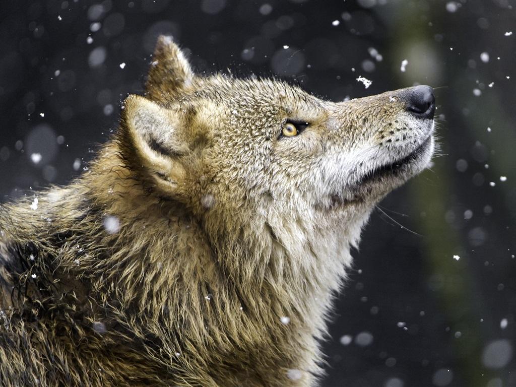 黄色片五太狼_狼,黄色的眼睛,捕食者,雪 壁纸
