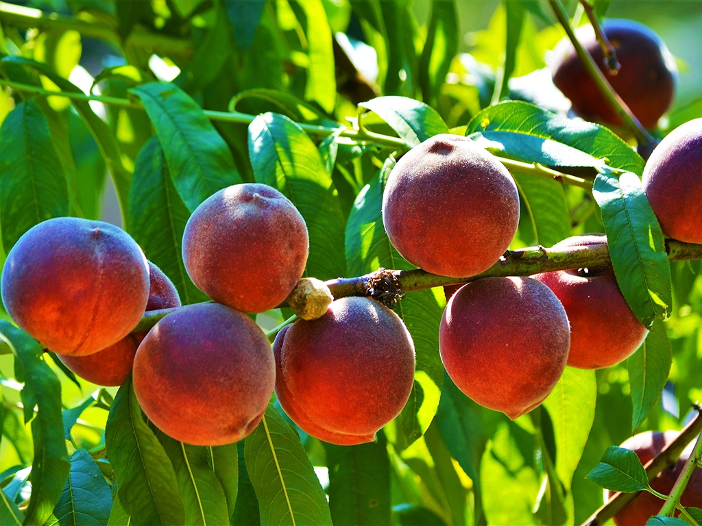 Ripe peaches, fresh fruit, twigs, leaves wallpaper 1024x768