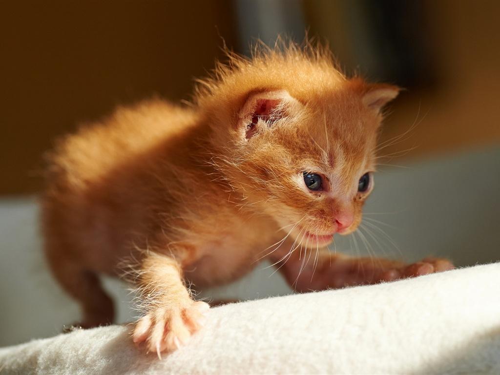 Cute orange kitten first steps Wallpaper