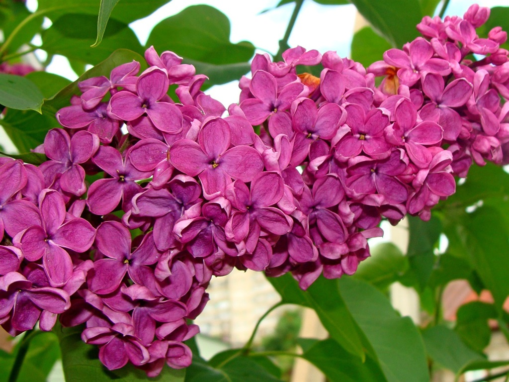 Fondos De Pantalla Flores Rosadas Crisantemo Fondo: Fondos De Pantalla Hermosas Flores De Color Lila, Violeta