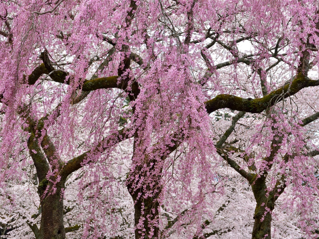 Download Wallpaper 1024x768 Spring, pink tree flowers ...