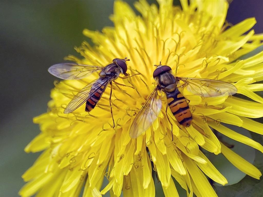 蜜蜂的花,两只黄色荷叶小壁纸找青蛙的游戏视频图片