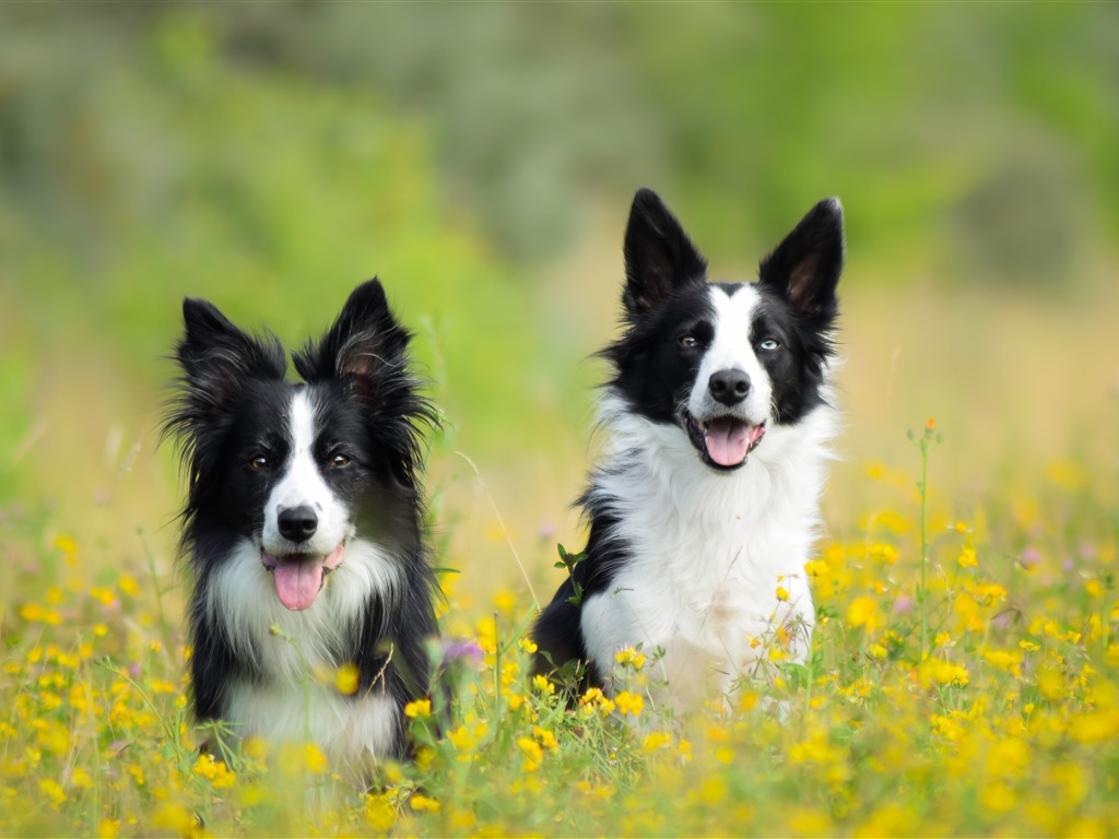 two dogs in the spring yellow flowers hazy 1242x2688. Black Bedroom Furniture Sets. Home Design Ideas