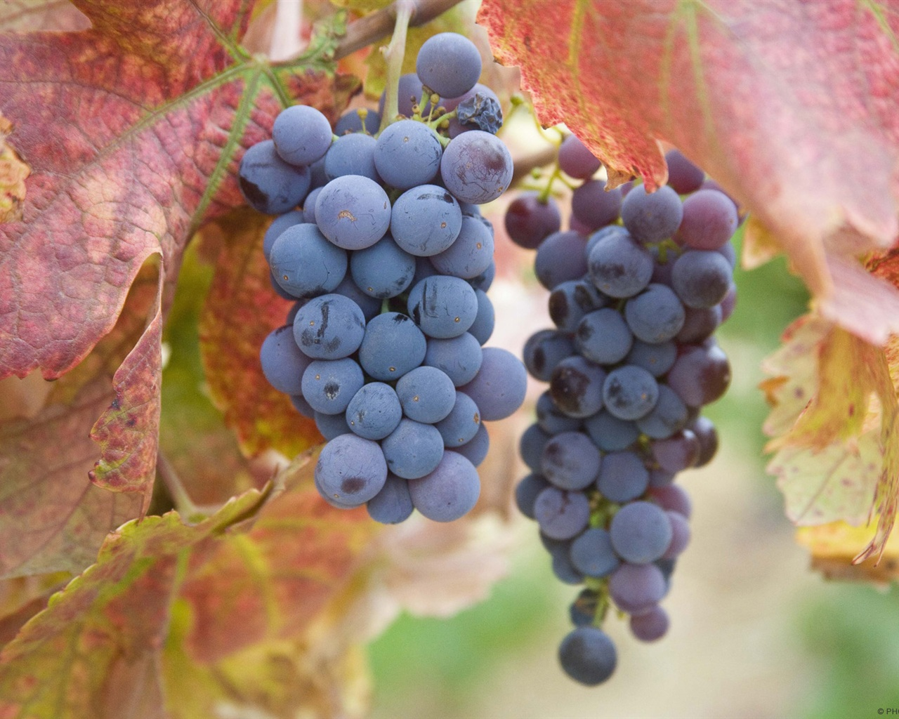 Ripe purple grapes wallpaper - 1280x1024