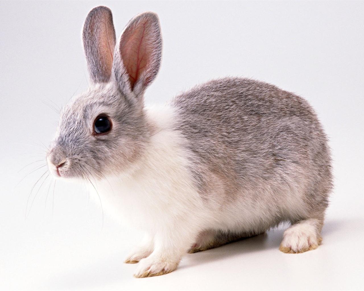 배경 화면 회색 토끼 1680x1050 HD 그림, 이미지