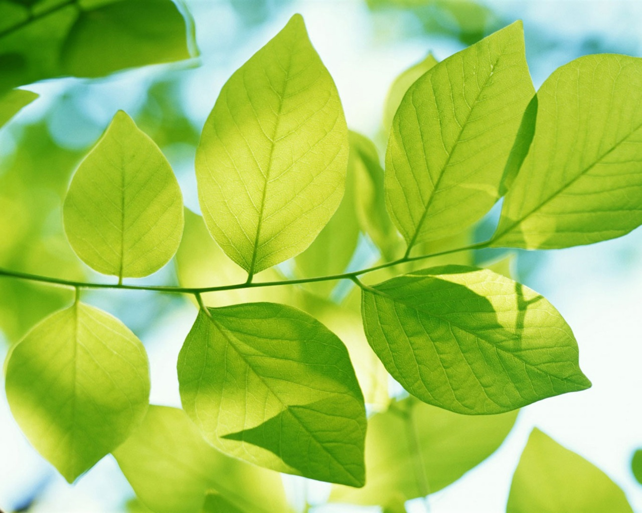 Download Wallpaper 1280x1024 Green leaves of spring HD ...