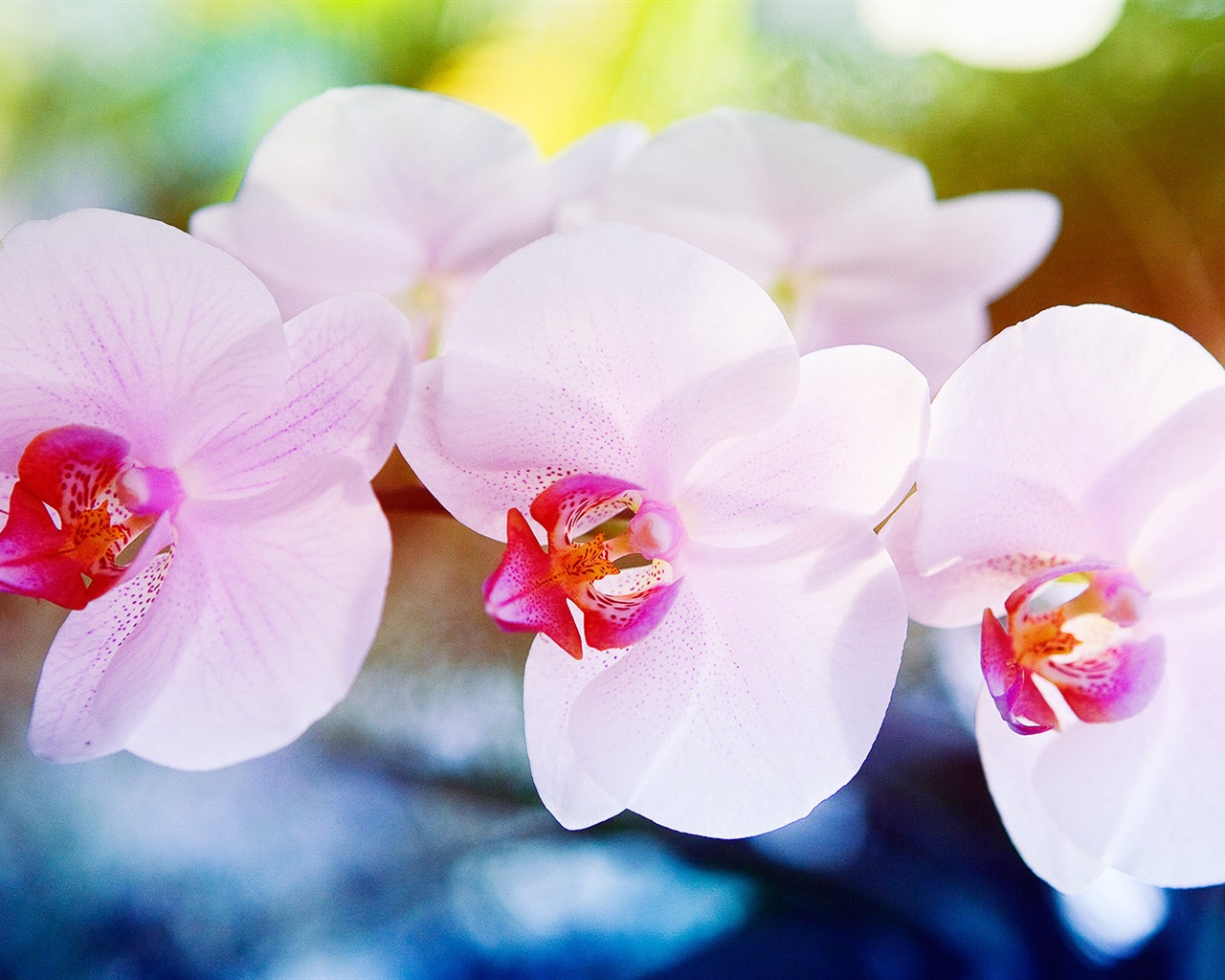 природа цветы белые орхидея nature flowers white Orchid загрузить