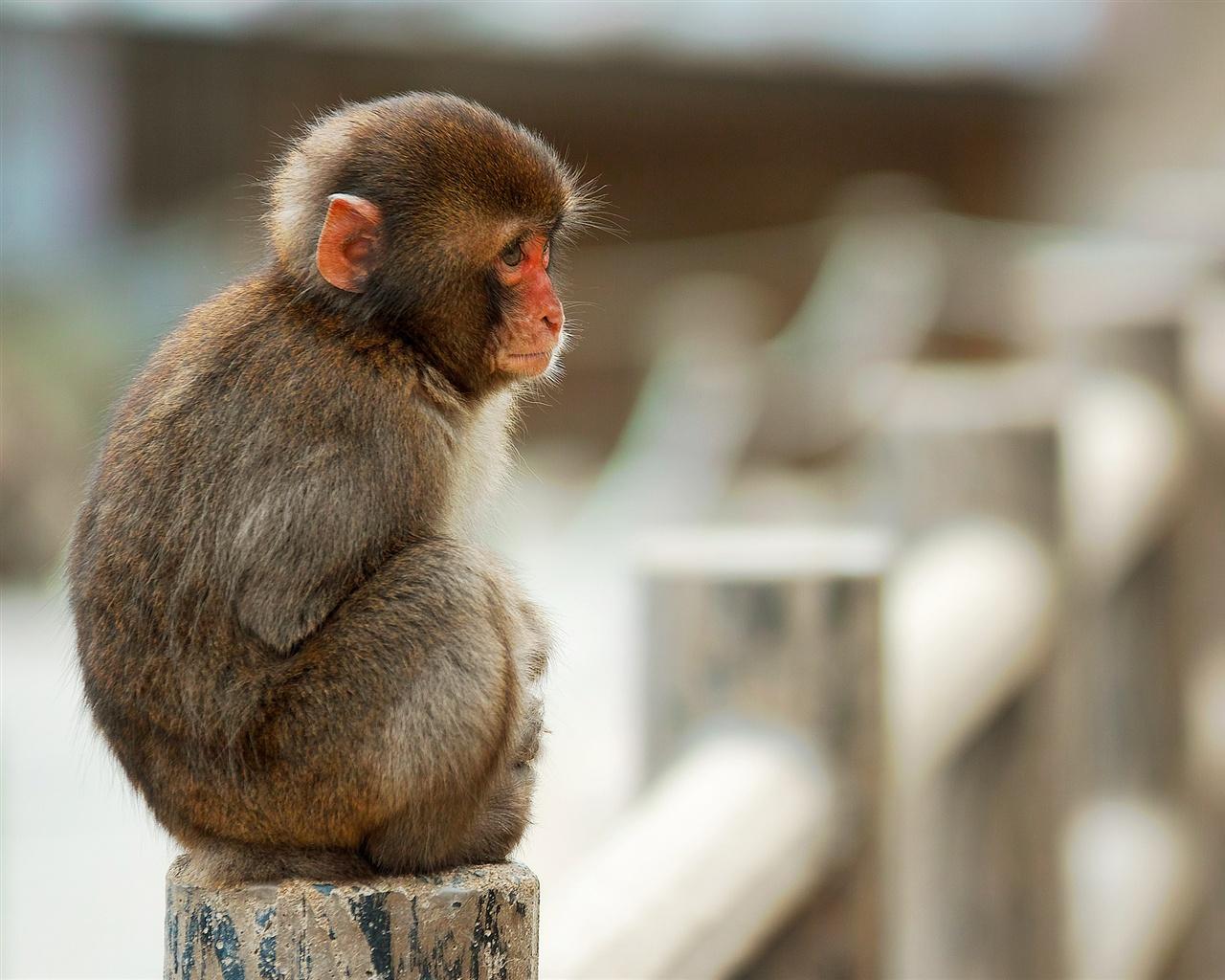 돌로 울타리에 앉아 짧은 꼬리 원숭이 원숭이 배경 ... Sitting