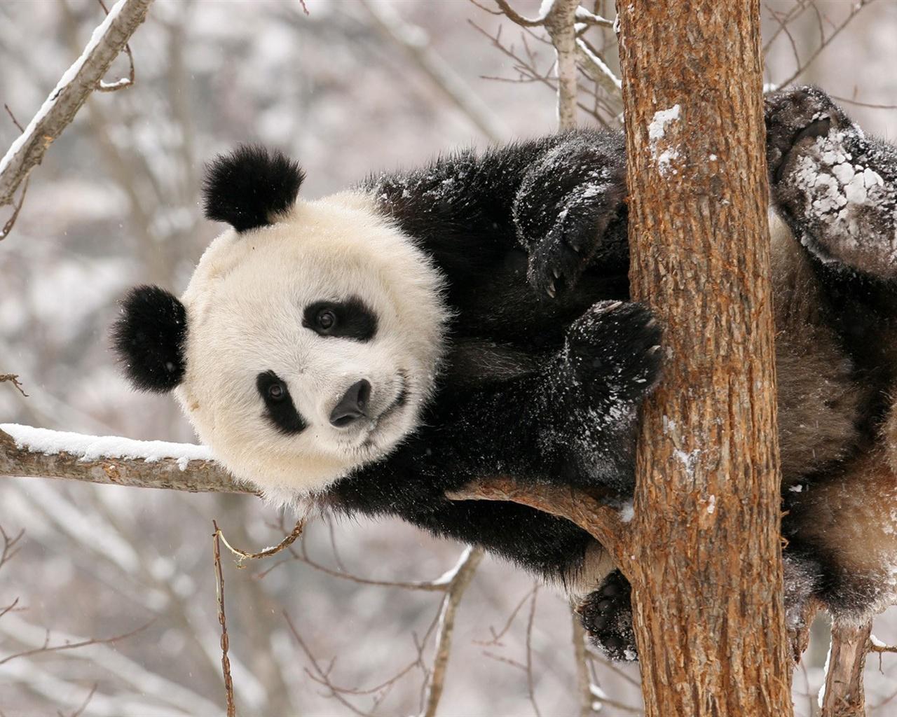パンダの画像 p1_30