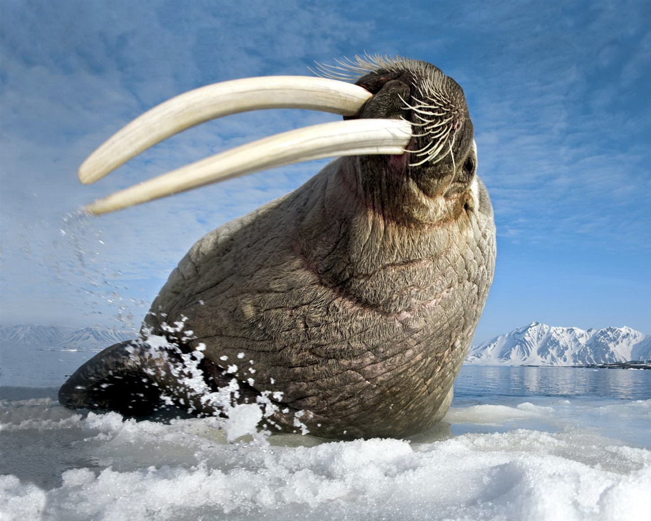 Arctic Walrus Pictures to Pin on Pinterest - PinsDaddy