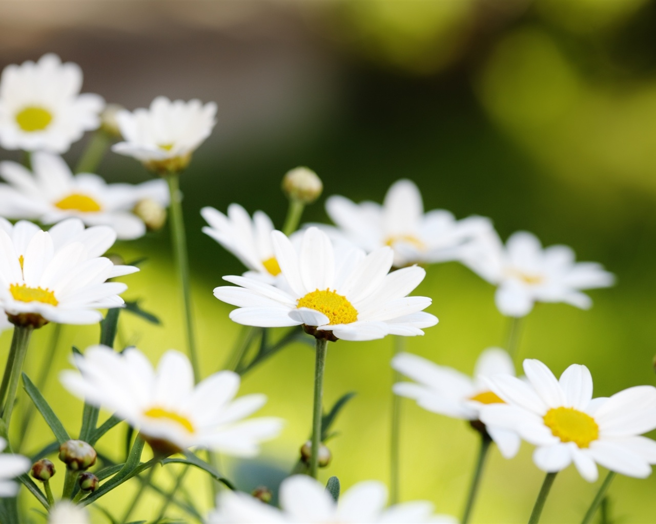 White daisies macro wallpaper - 1280x1024
