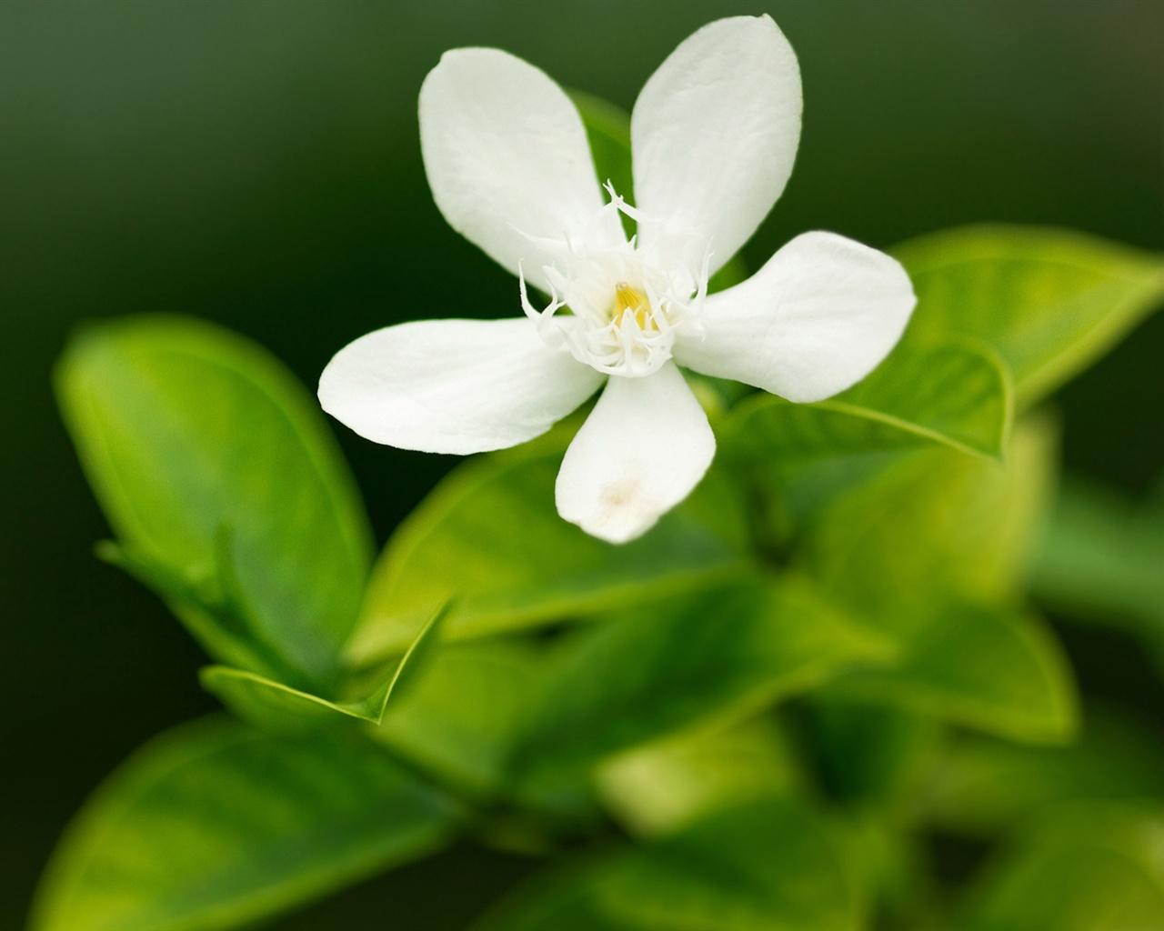 Wallpaper five petal white flower macro 1920x1200 hd picture image mightylinksfo