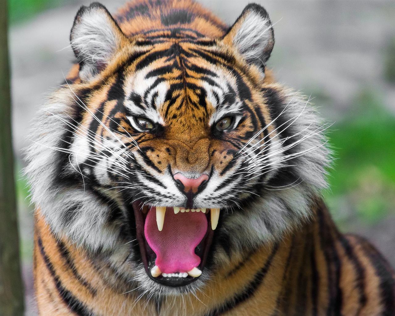 Desktop Hd Tiger Attack Pics: Fondos De Pantalla Feroz Tigre 1920x1200 HD Imagen
