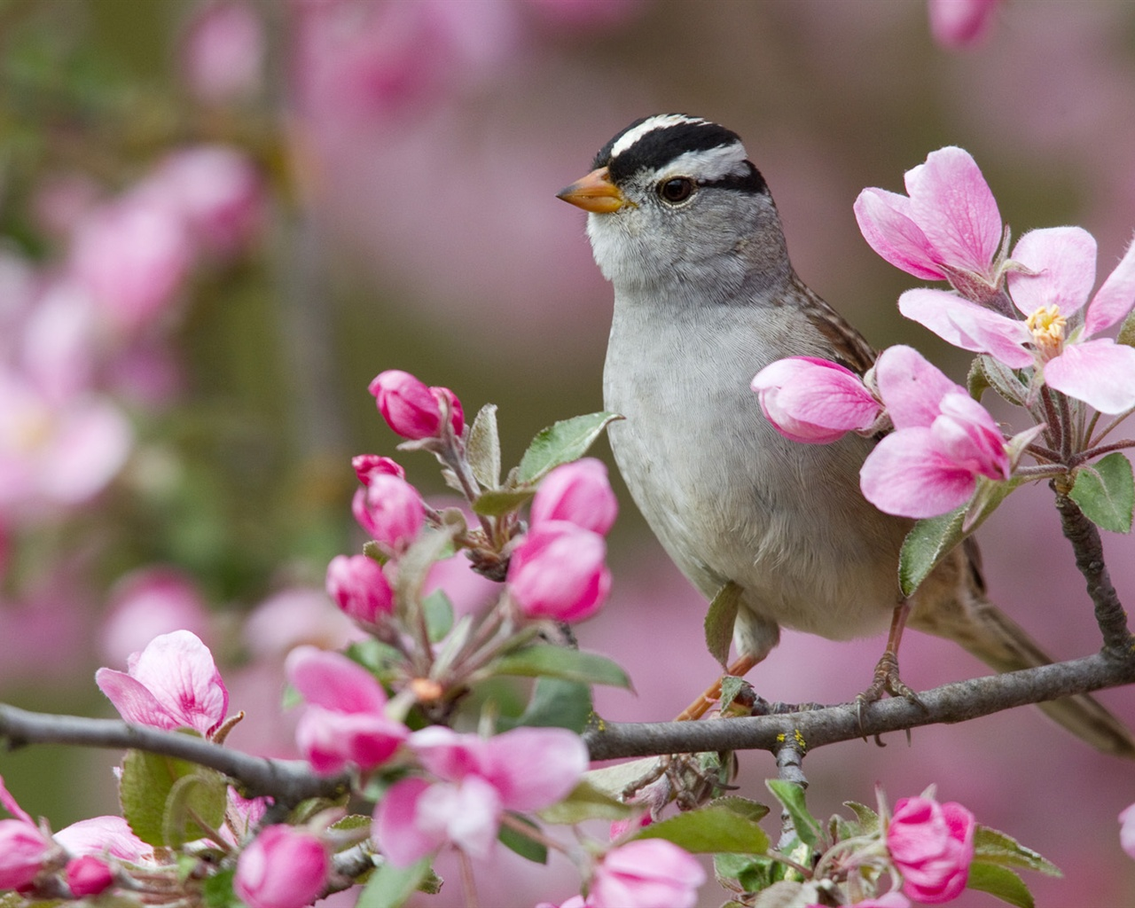 fleur de p cher printemps et les oiseaux fonds d 39 cran 1280x1024 fonds d 39 cran de. Black Bedroom Furniture Sets. Home Design Ideas