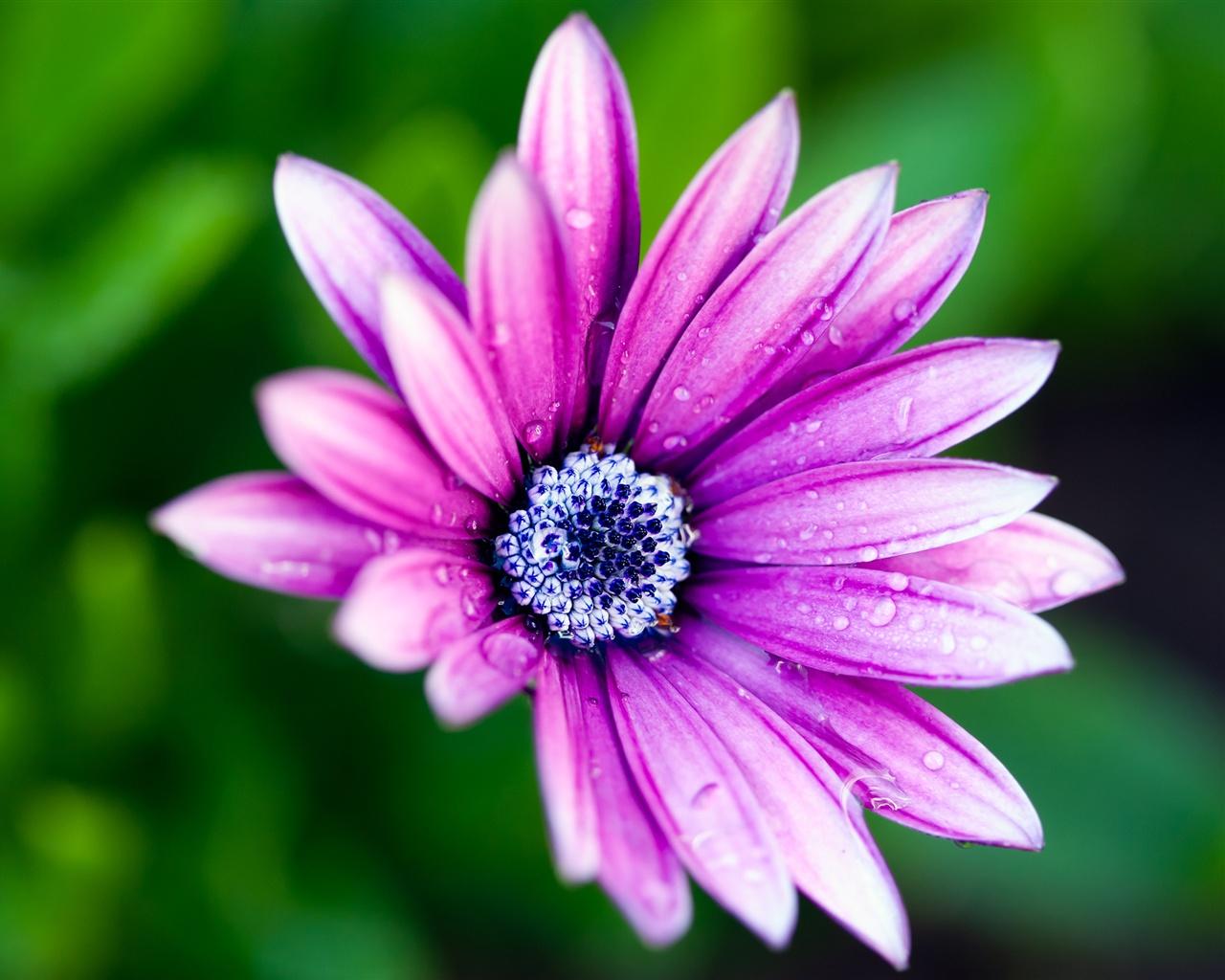 紫色的花瓣,蓝�...