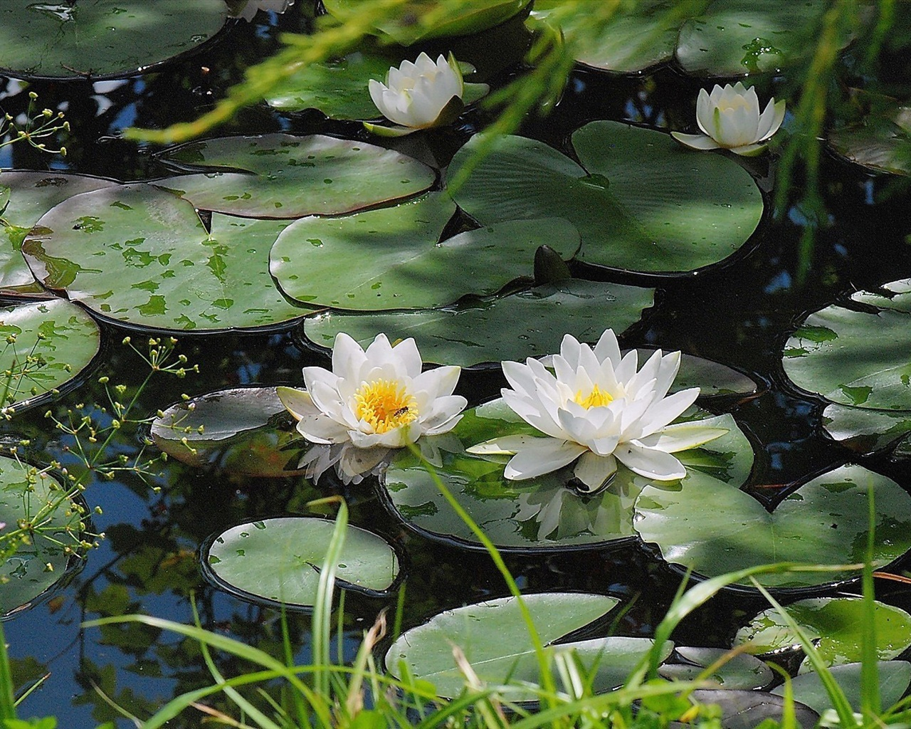 water lily pond waterlilies - photo #19