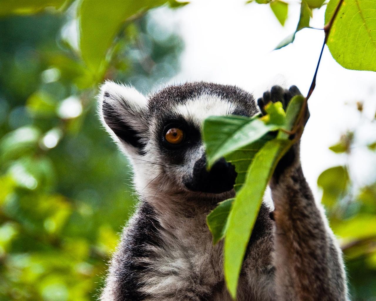 download wallpaper 3840x2160 lemur - photo #16