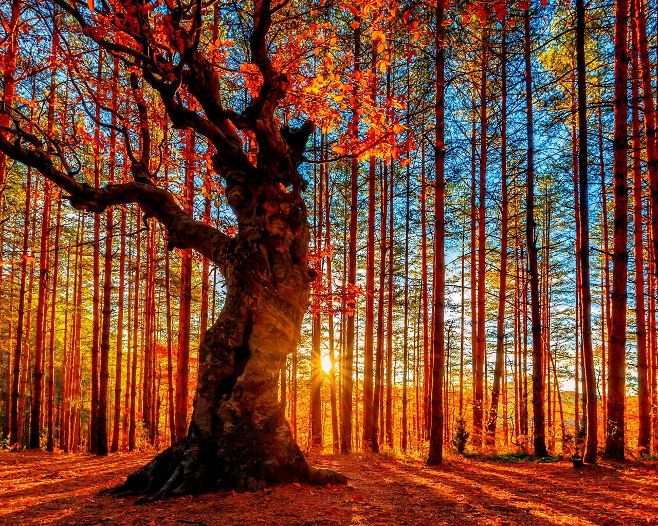 beautiful autumn sunset forest  trees  red leaves