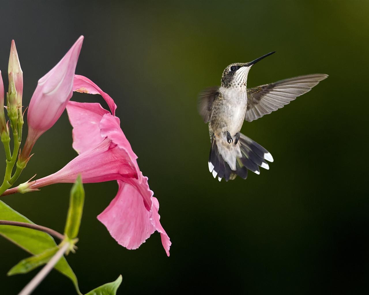 Download hintergrundbilder 1280x1024 kolibri fliegen rosa for Fliegen in blumen