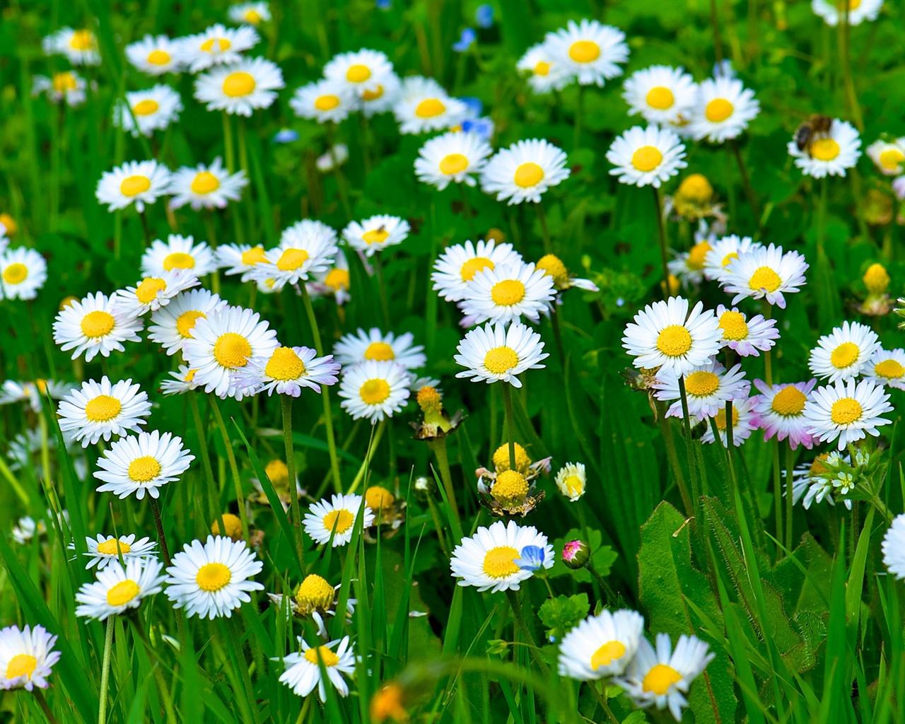Wallpaper White Daisy Flowers Grass Leaves Green 1920x1200 Hd