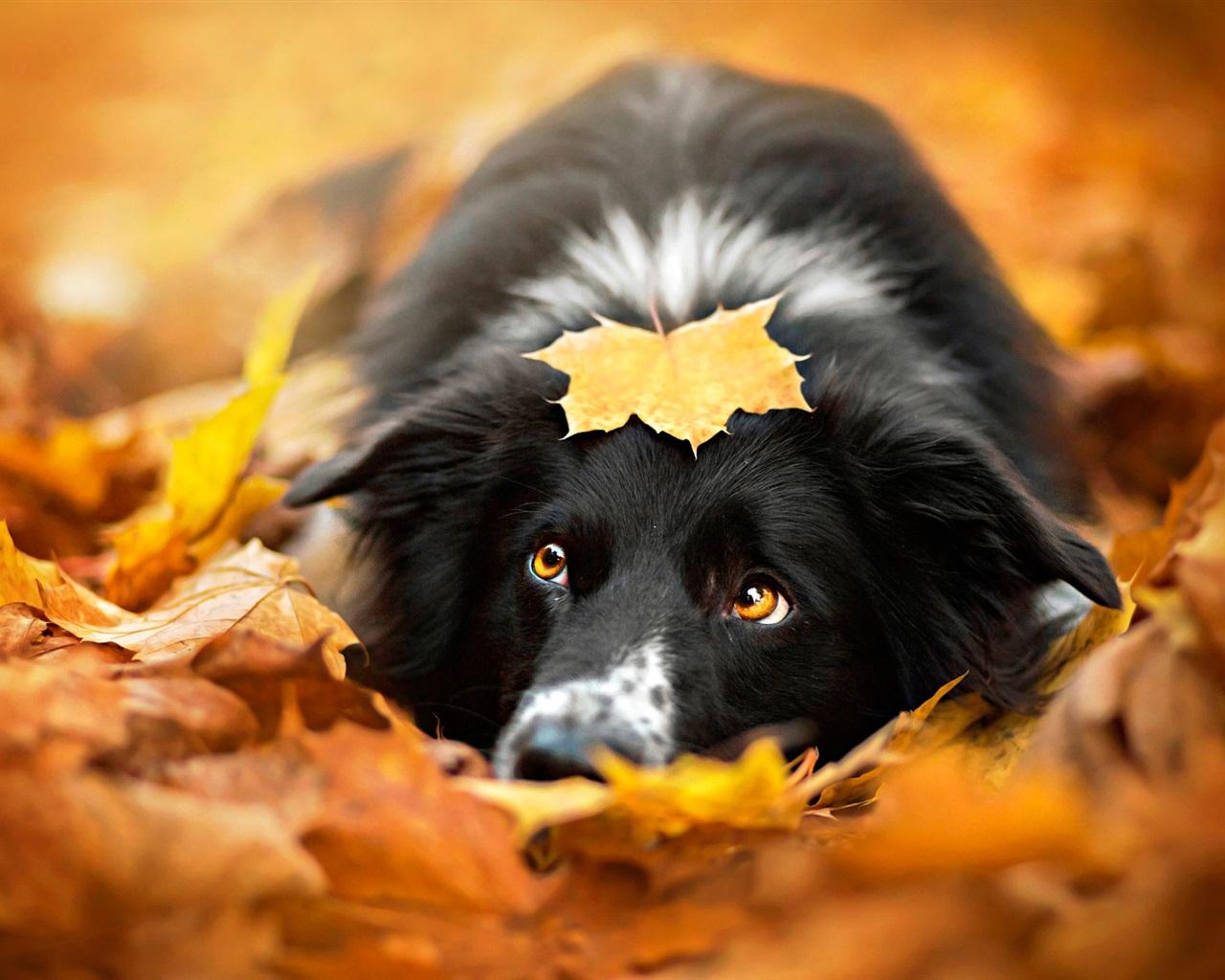 壁紙 黒い犬、秋、紅葉 1920x1200 HD 無料のデスクトップの背景, 画像