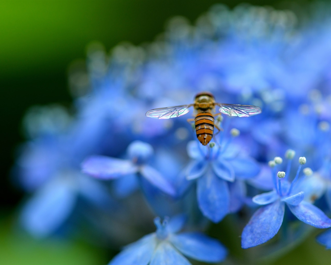 blaue hortensien bl tenbl tter blumen insekt biene 1920x1200 hd hintergrundbilder hd bild. Black Bedroom Furniture Sets. Home Design Ideas