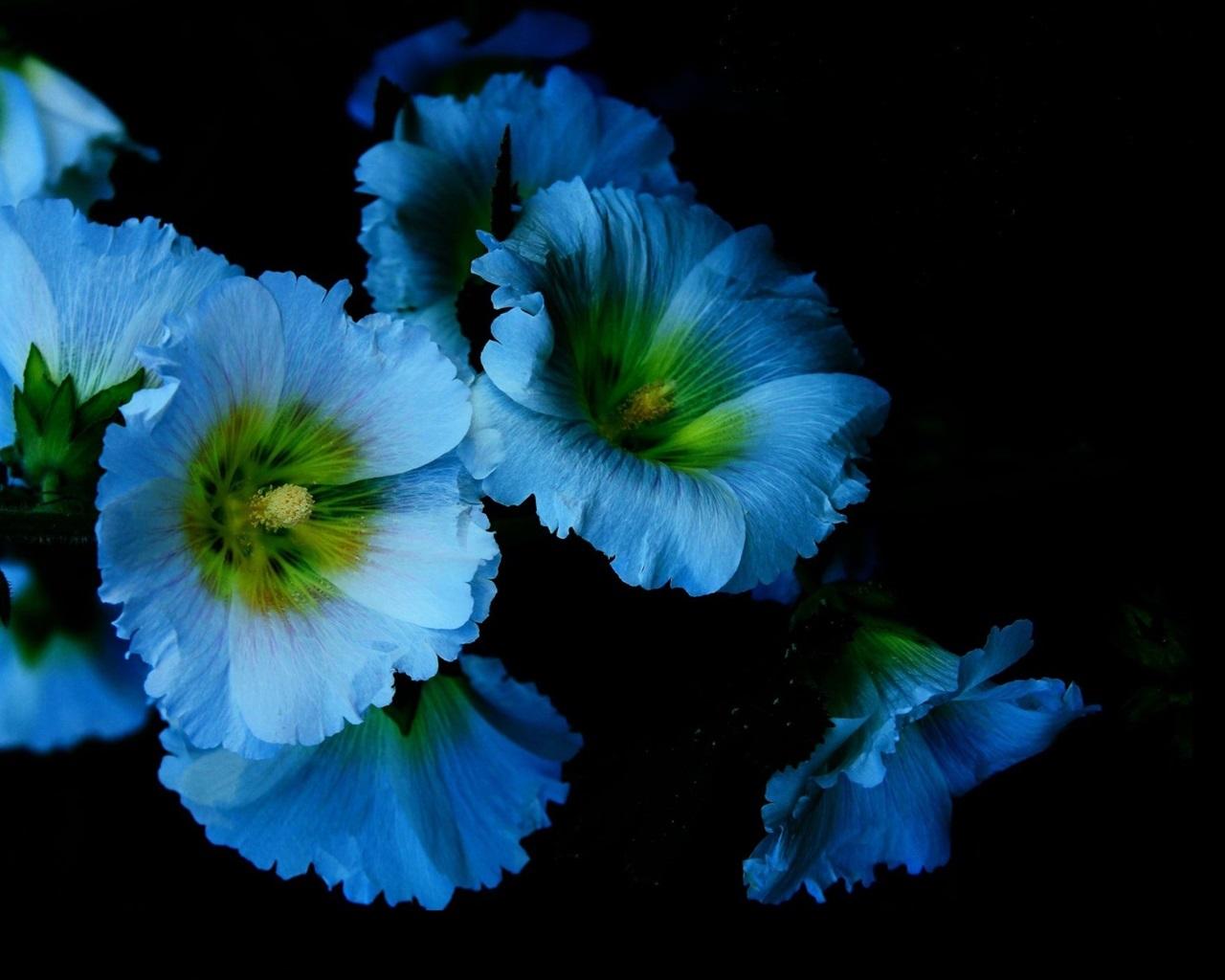 壁紙 青い花、花びら、ゼニアオイ、黒の背景 2560x1600 HD 無料のデスクトップの背景, 画像