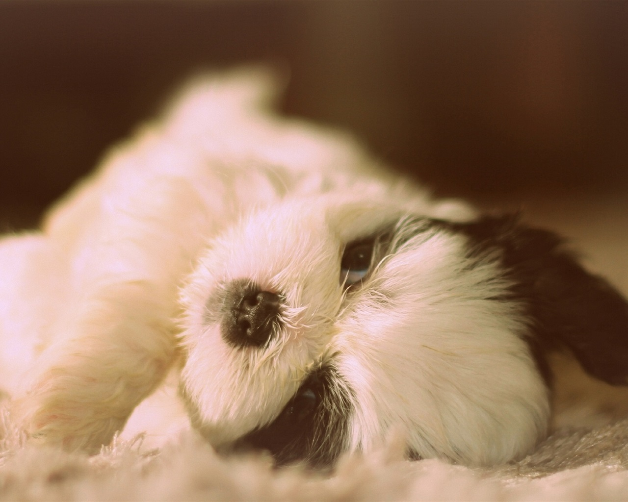 Download Wallpaper 1280x1024 Cute Shih Tzu, dog lying HD ...
