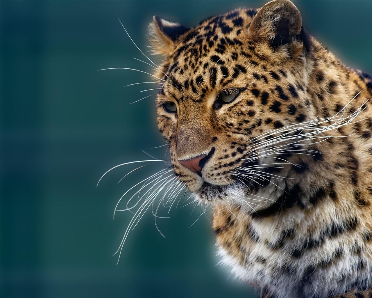 Retrato Animal Jaguar Bigote Fondos De Pantalla