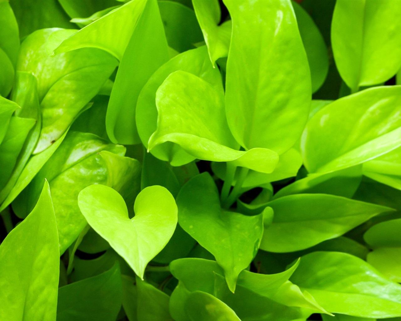 fonds d 39 cran les plantes vertes close up pothos 1920x1200 hd image. Black Bedroom Furniture Sets. Home Design Ideas