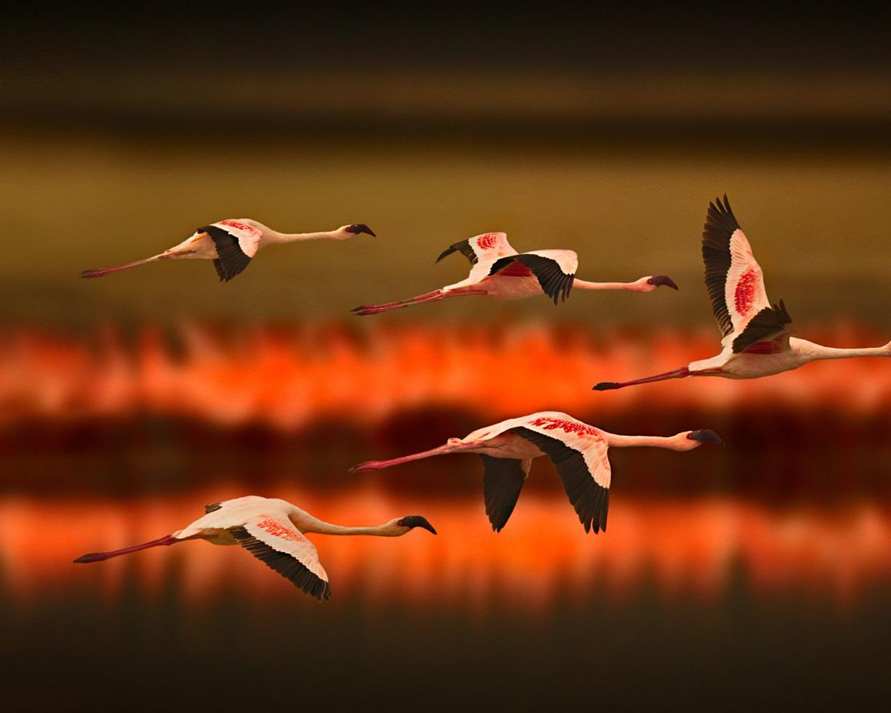Aninimal Book: Wallpaper Greater Flamingos flying at sunset 1920x1080 ...