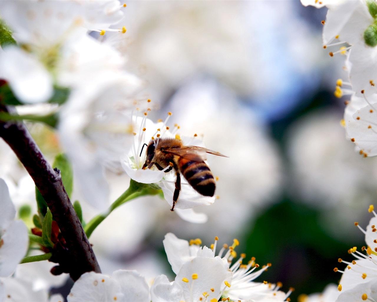 壁紙 白い桜の花、昆虫蜂、春 2560x1600 HD 無料のデスクトップの背景, 画像
