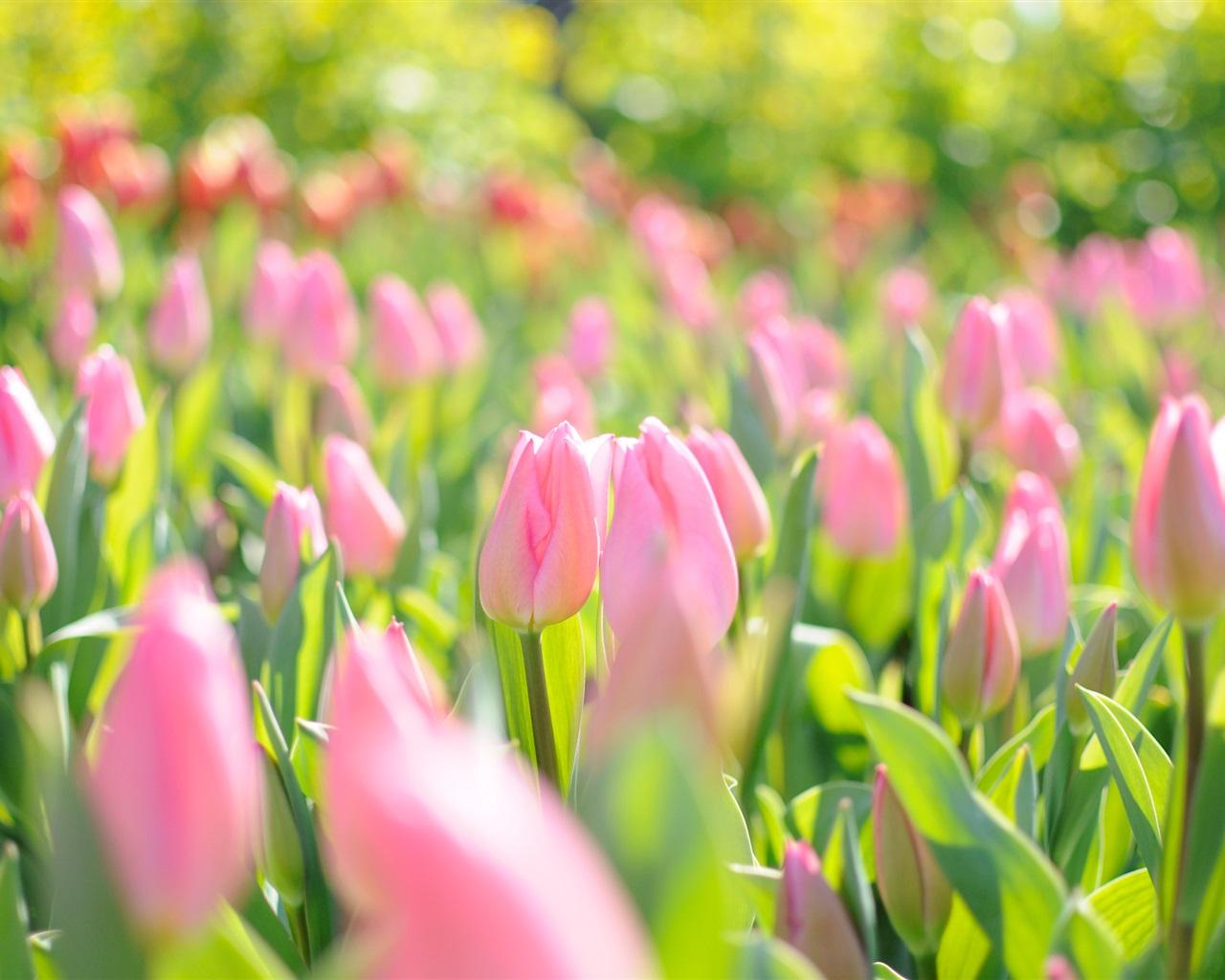 Красивые картинки на рабочий стол весна тюльпаны