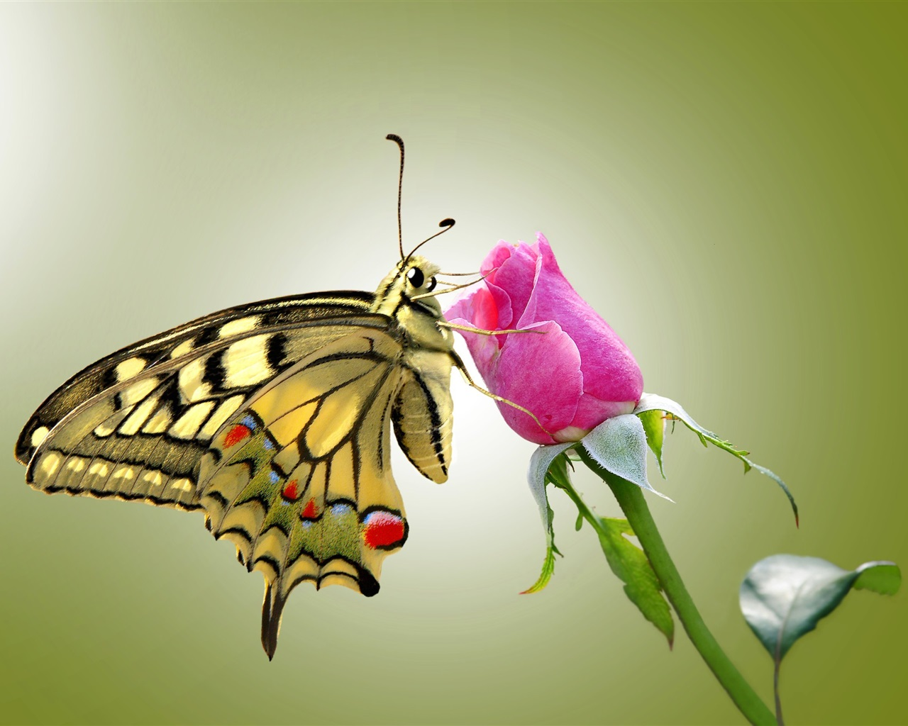 1280x1024 HD Wallpaper Butterfly and pink rose